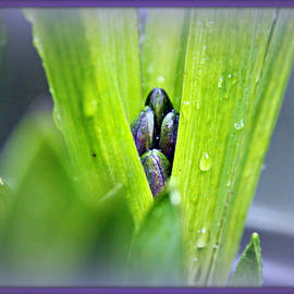 Katie Wing Vigil - Hyacinth Buds
