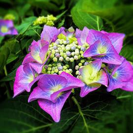 Carol  Lux Photography - Hydrangea Flowers