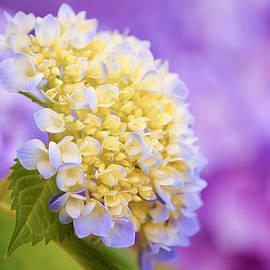 Parker Cunningham - Hydrangea on Purple
