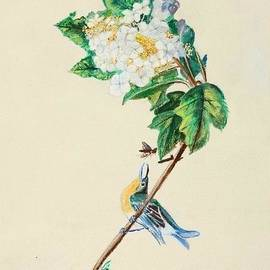 Veronica Rickard - Hydrangea with Yellow Breasted  Vireo after Audubon