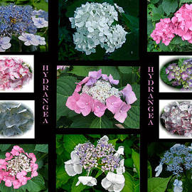 Mother Nature - Hydrangeas on Parade