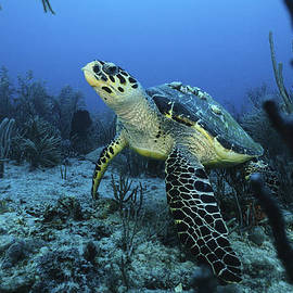 Sandra Edwards - I am a proud Hawksbill Turtle