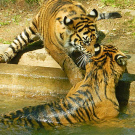 Emmy Marie Vickers - I Gotcha - Twin Tiger Cubs At Play