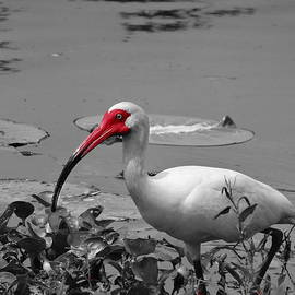 Dan Sproul - Ibis In Brazos Bend State Park