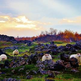David Broome - Icelandic Lava Field Sheep