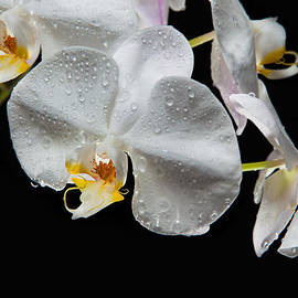 David Kittrell - Impeccable Orchid