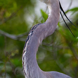 Andres Leon - Imperial Great Blue Heron