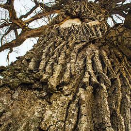 Robert Storost - Imposing Oak