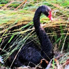 Lenore Senior and Sharon Burger - Impression of the Black Swan