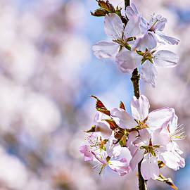 Alexander Senin - In Full Bloom - Pink