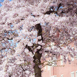 Jenny Rainbow - In Its Glory. Pink Spring in Amsterdam