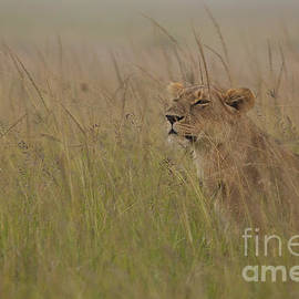 Ashley Vincent - In Search of Cubs