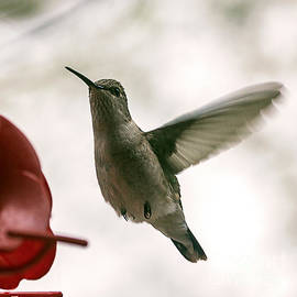 Janice Rae Pariza - Incoming Hummingbird