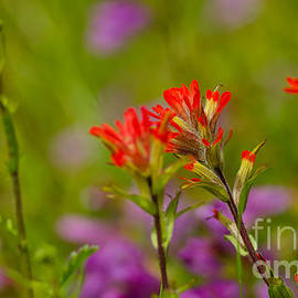 Nick  Boren - Indian Paintbrush Macro