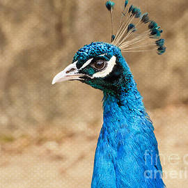 MaryJane Armstrong - Indian Peafowl Profile