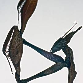Leslie Crotty - Indian Rose Mantis Gonglus gongylodes Wondering Violin Mantis  1 of 3