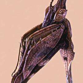 Leslie Crotty - Indian Rose Mantis Gonglus gongylodes Wondering Violin Mantis 2 of 3