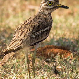Vijay Sonar - Indian stone-curlew or Indian Thick-knee