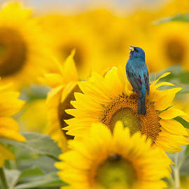 Jack Nevitt - Indigo Bunting on Sunflower