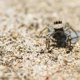 R I Chalmers - Inquisitive Jumping Spider