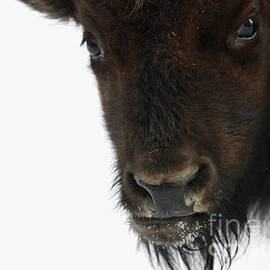 Inspired Nature Photography By Shelley Myke - Inspired by Bison
