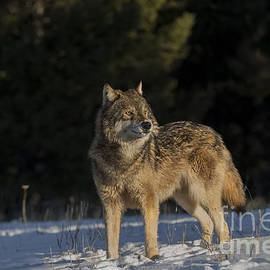 Wildlife Fine Art - Wolf- Intensive Listening
