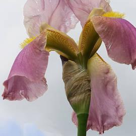 Allen Beatty - Iris 25 Reaching for the Sky