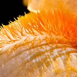 Tomasz Dziubinski - Iris Caterpillar