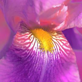 Jennie Marie Schell - Iris Flower in Pink Violet