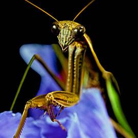 Leslie Crotty - Macro Closeup Of The Praying Mantis On A Blue Iris Flower