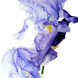 Marie Burke - Blue Iris II