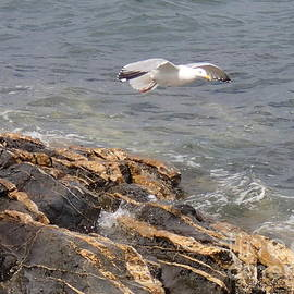 Robert Nickologianis - Island Seagull