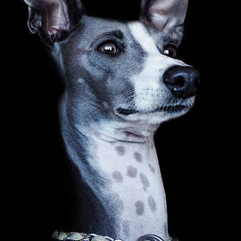 Chrisna Louw - Italian Greyhound Portrait