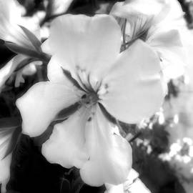 Richard Andrews - Ivy Geranium B n W