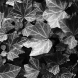 Ronald Schafer - Ivy on the fence 33bw2