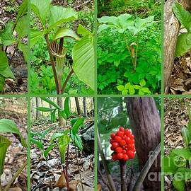 Mother Nature - Jack-in-the-Pulpit Wildflower    Arisaema triphyllum