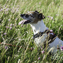 Project B - Jack Russell field of wild flowers