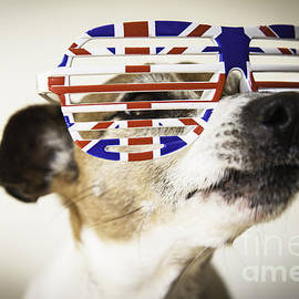 Project B - Jack Russell wearing union Jack sunglasses