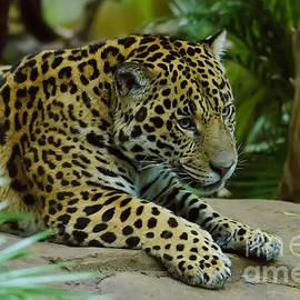 Darren Wilkes - Jaguar