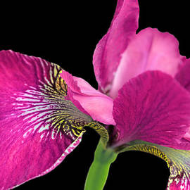 Jennie Marie Schell - Japanese Iris Hot Pink Black Four
