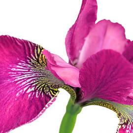 Jennie Marie Schell - Japanese Iris Hot Pink White Four