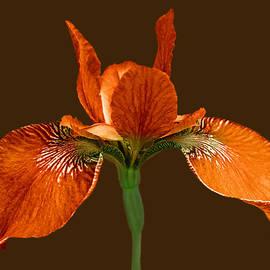 Jennie Marie Schell - Japanese Iris Orange Brown Three