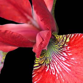 Jennie Marie Schell - Japanese Iris Red Black Two