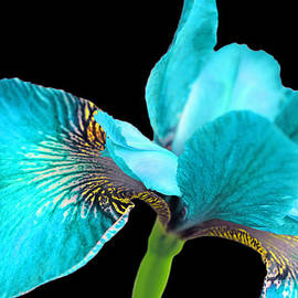Jennie Marie Schell - Japanese Iris Turquoise Black Four