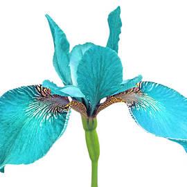Jennie Marie Schell - Japanese Iris Turquoise White Three