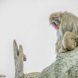 LeeAnn McLaneGoetz McLaneGoetzStudioLLCcom - Japanese macaque snow monkey