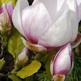 Pamela Patch - Japanese Magnolia