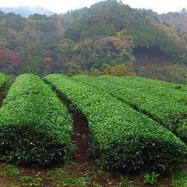 Yoshikazu Yamaguchi - Japanese tea garden