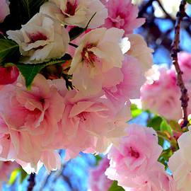 Katy Hawk - Japanese Yoshino Cherry Blossoms extra large format