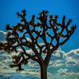 Mitch Shindelbower - Joshua Tree